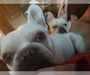 Main photo of French Bulldog Dog Breeder near EVENING SHADE, MO, USA