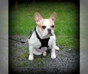 French Bulldog Breeder in DRAIN, OR, USA