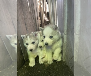 Siberian Husky Dog Breeder in BALCONES HEIGHTS,  USA