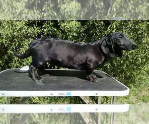 Main photo of Dachshund Dog Breeder near CAMPO, CA, USA