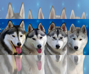 Main photo of Siberian Husky Dog Breeder near Budapest, Budapest, Hungary