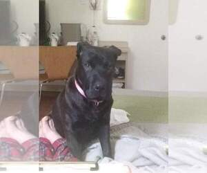 Main photo of American Pit Bull Terrier-Chinese Shar-Pei Mix Dog Breeder near AUSTIN, TX, USA