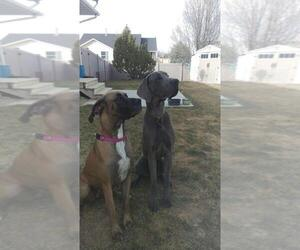 Great Dane Breeder in EAGLE MOUNTAIN, UT, USA