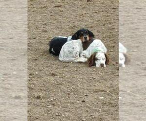 Main photo of Llewellin Setter Dog Breeder near WELLINGTON, CO, USA