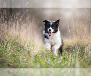 Border Collie Dog Breeder in AND,  USA
