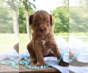 Goldendoodle Breeder in SALEM, OH, USA