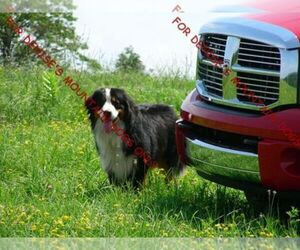 Bernese Mountain Dog Dog Breeder near MILLERTON, PA, USA