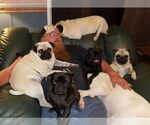 Pug Breeder in PARSONS, KS, USA