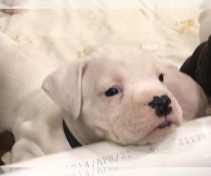 Main photo of Boxer Dog Breeder near BELVEDERE, GA, USA