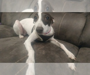 Italian Greyhound Dog Breeder near OREM, UT, USA