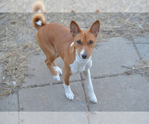 Basenji Dog Breeder near NEWTON, IA, USA