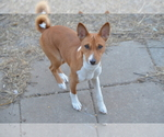 Basenji Breeder in NEWTON, IA, USA