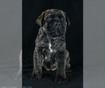 Cane Corso Breeder in HOOPER, CO, USA