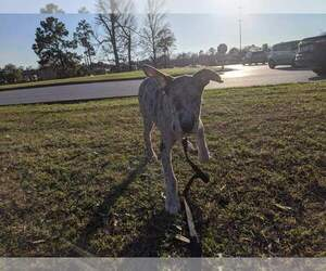 Main photo of Great Dane Dog Breeder near HOUSTON, TX, USA