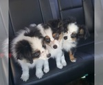 Miniature Australian Shepherd Breeder in BONNERDALE, AR, USA
