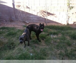 Bullmastiff Dog Breeder near LAS VEGAS, NV, USA