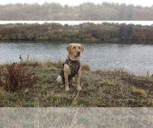 Main photo of Labrador Retriever Dog Breeder near KLAMATH FALLS, OR, USA
