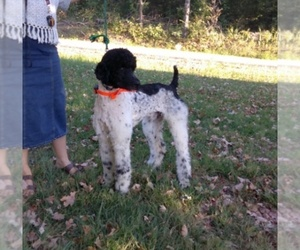Main photo of Poodle (Standard) Dog Breeder near MORGANTOWN, KY, USA