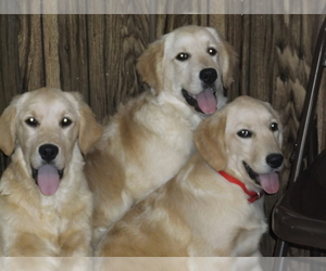 Main photo of Golden Retriever Dog Breeder near MENDOTA, IL, USA