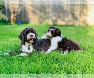 Portuguese Water Dog Dog Breeder near LINROSE, ID, USA