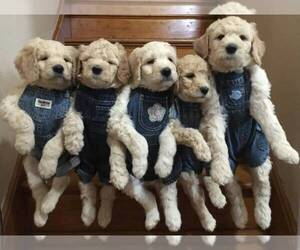 Goldendoodle Dog Breeder in PORTLAND,  USA