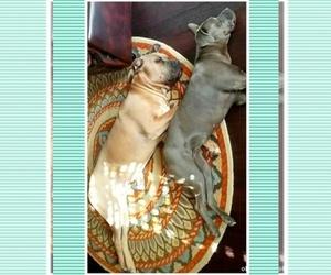 Main photo of Cane Corso Dog Breeder near NEWPORT NEWS, VA, USA
