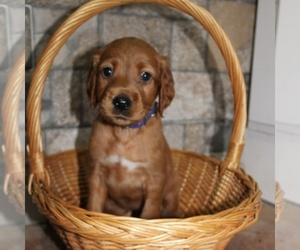Main photo of Irish Setter Dog Breeder near BEARTOWN, PA, USA
