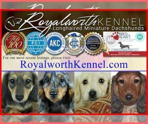 Main photo of Dachshund Dog Breeder near INVERNESS, FL, USA