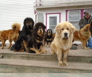 Tibetan Mastiff Breeder in GALVA, IL, USA