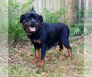 Main photo of Rottweiler Dog Breeder near LAKELAND, FL, USA