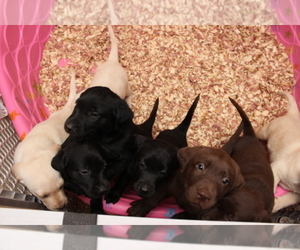 Main photo of Labrador Retriever Dog Breeder near VIRGINIA BEACH, VA, USA