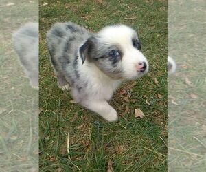 Australian Shepherd Dog Breeder in W ALEX,  USA