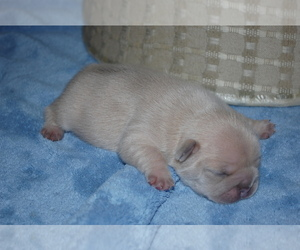 American Bulldog Breeder in DANIA, FL, USA