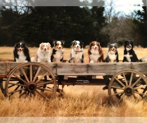 Main photo of Australian Shepherd Dog Breeder near GREENVILLE, TX, USA