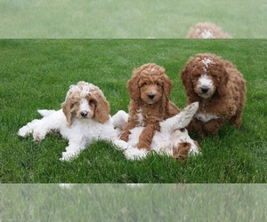 Aussiedoodle Dog Breeder in CLARE,  USA