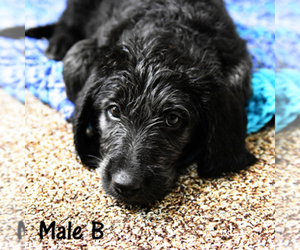 Main photo of Labradoodle Dog Breeder near MERIDIAN, ID, USA