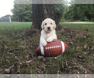 Goldendoodle Breeder in CONWAY, AR