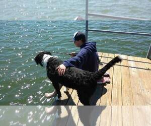 Poodle (Standard)-Portuguese Water Dog Mix Dog Breeder in WEST PLAINS,  USA