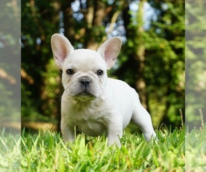 Main photo of French Bulldog Dog Breeder near WARSAW, IN, USA