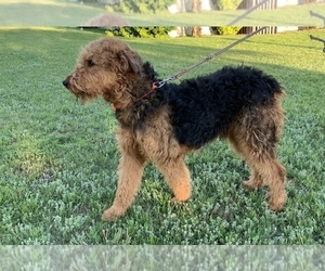 Main photo of Airedale Terrier Dog Breeder near JOSHUA, TX, USA