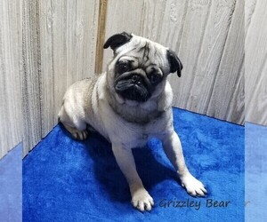 Pug Dog Breeder in BELLE CENTER,  USA