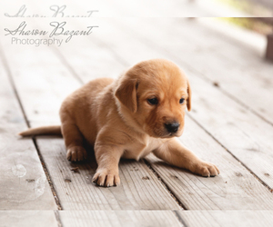 Main photo of Labrador Retriever Dog Breeder near BIG LAKE, MN, USA