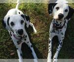 Dalmatian Breeder in PIEDMONT, SC, USA