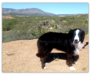 Border Collie Dog Breeder in ORACLE,  USA