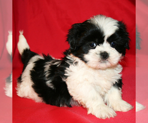 Shih Tzu Dog Breeder In Cedar Park Texas Usa