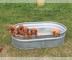 Vizsla Breeder in ROCKPORT, TX, USA