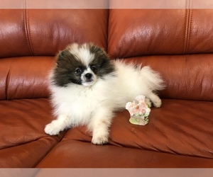 Pomeranian Dog Breeder in STATEN ISLAND,  USA