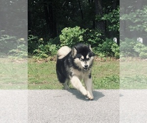 Alaskan Malamute Dog Breeder in FINLEY,  USA