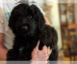 Main photo of F2 Aussiedoodle Dog Breeder near GRANTS PASS, OR, USA