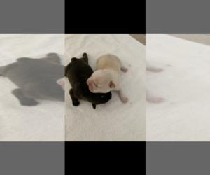 French Bulldog Dog Breeder in ALBUQUERQUE,  USA